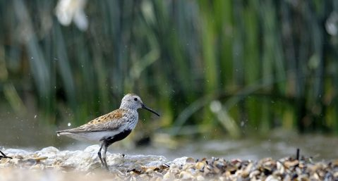 Bird on a salt marsh